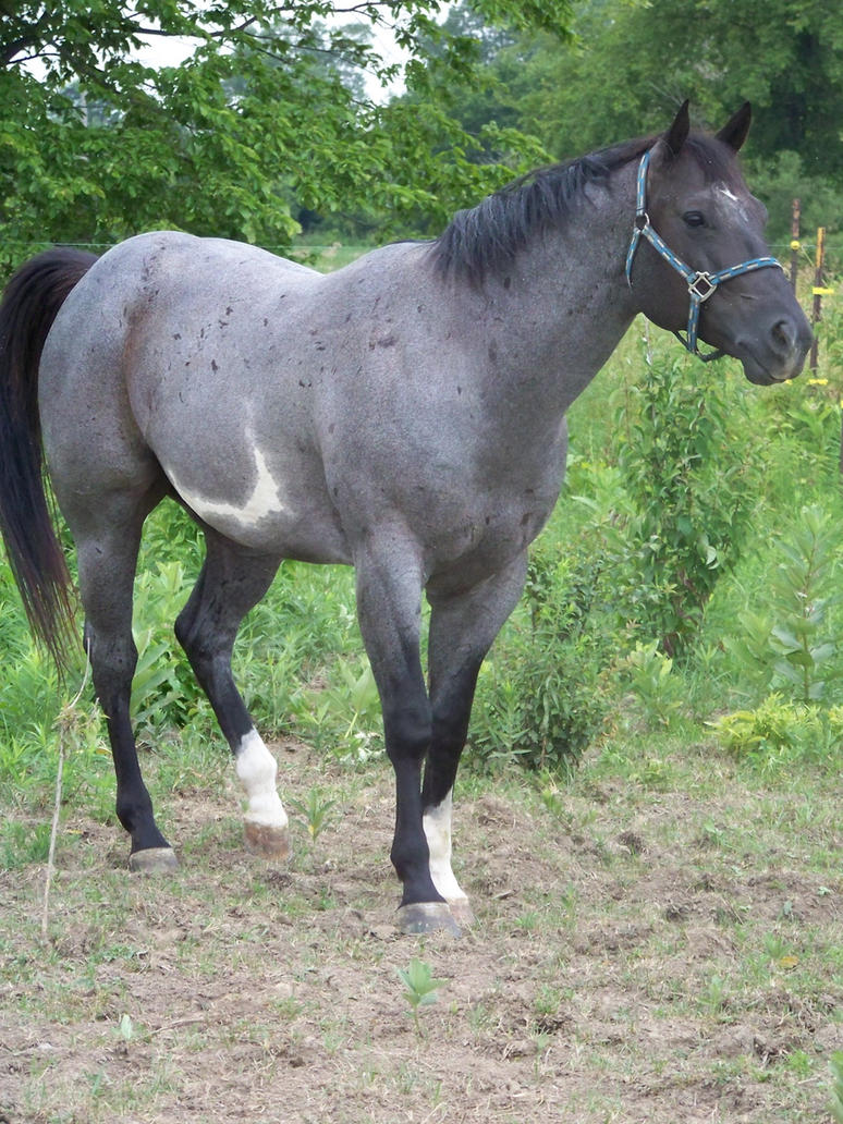 Lucky Eclipse Blue_roan_6_by_KellSarina