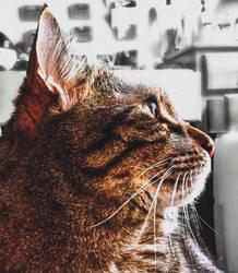 Tabby Portrait 5  by cbettsr