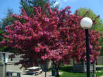 Flowering Tree in Red