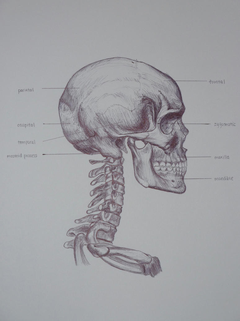 Skeletal Skull Drawing Side by musicxis on DeviantArt