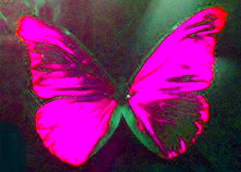 Pink Butterfly by Forbidden-dreams