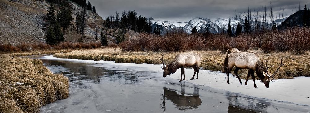 Vermillion Elk by LukeAustin