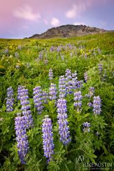 Lupins - Alaska