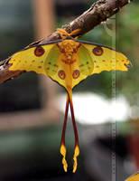 Madagascar Moon Moth by thrumyeye
