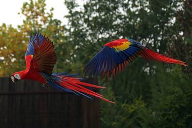 Scarlet Macaws in Flight by thrumyeye