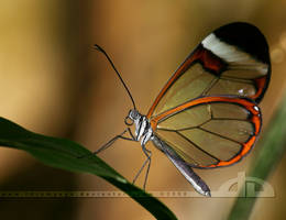 GlassWing by thrumyeye