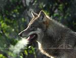 Smokin Wolf