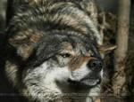 WolfStretch by thrumyeye