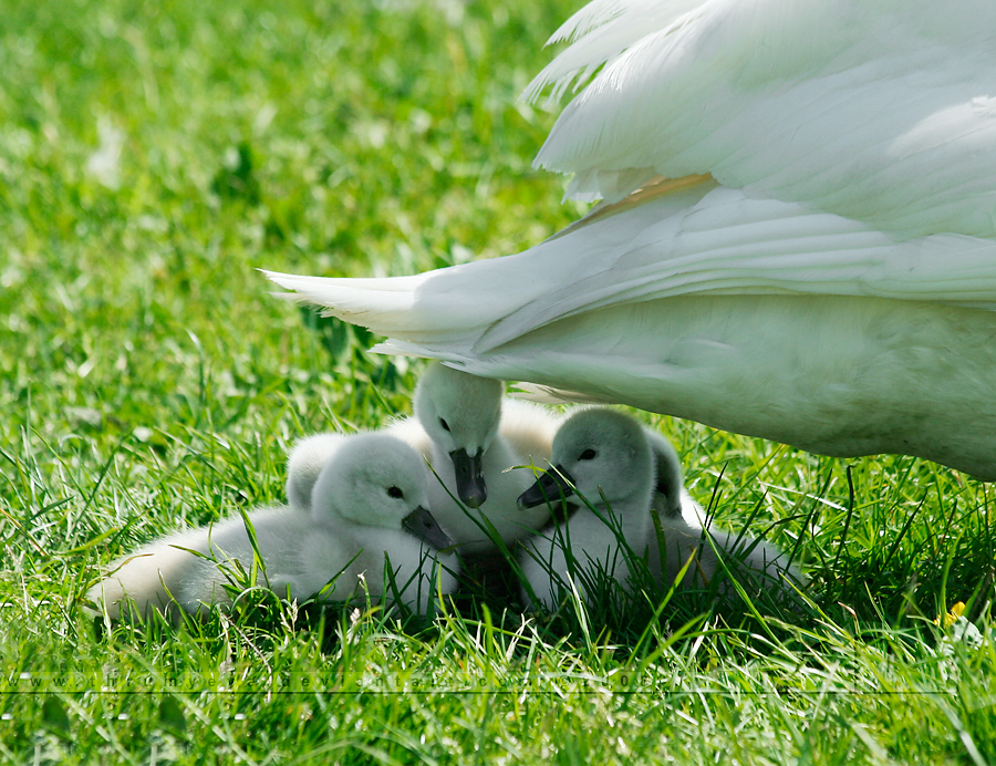 Under Mama's Wings