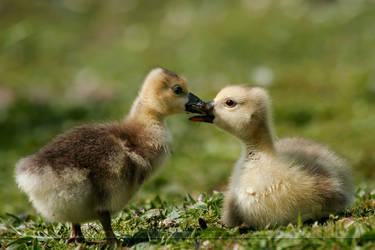 DuckSnuggle by thrumyeye