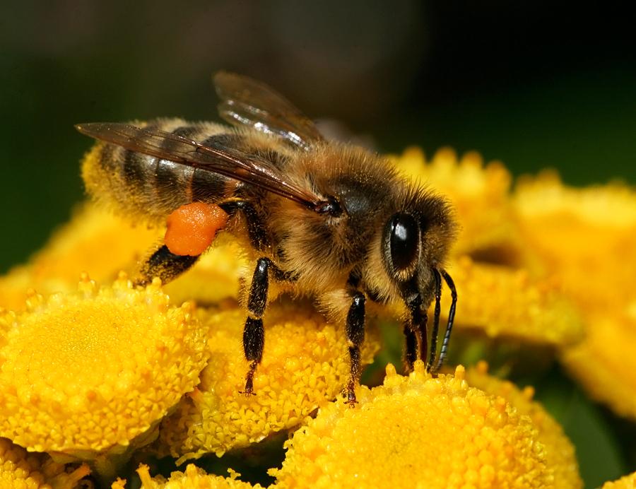 A Bee Days' Work by thrumyeye