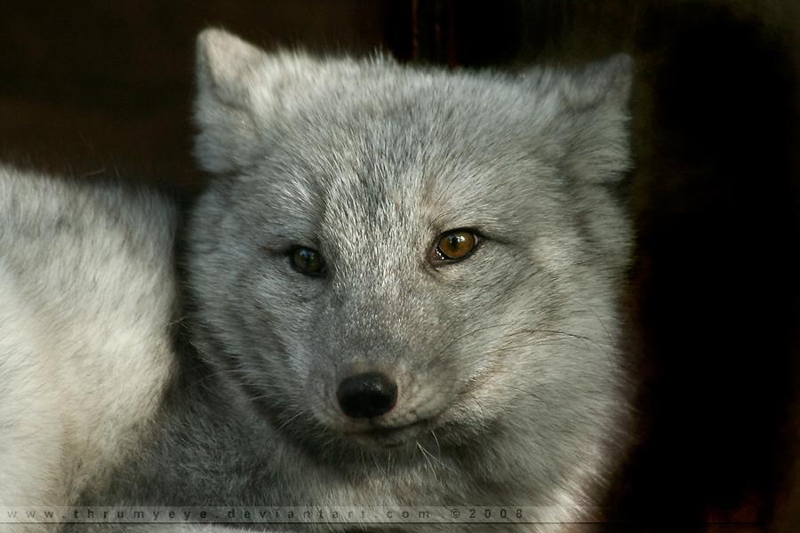 Wolfy by thrumyeye