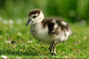 If it walks like a duck.... by thrumyeye