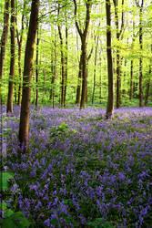 Bluebell Woods by thrumyeye