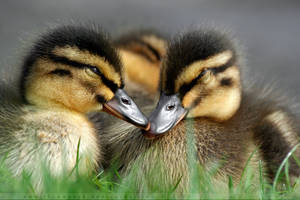 DuckSnuggle. by thrumyeye