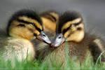DuckSnuggle.