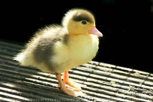 Glow-in-the Dark-Duckling by thrumyeye