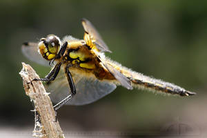 Four spotted Chaser by thrumyeye