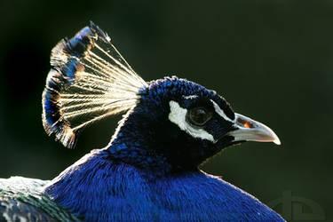 Peacock Portrait by thrumyeye