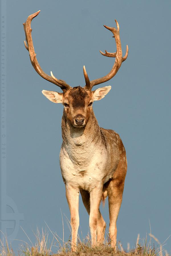 Mr. Deer by thrumyeye