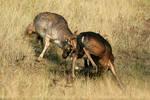 Deer Duel II