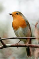 RainyDay Robin by thrumyeye
