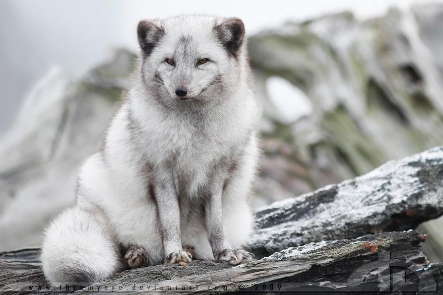 SnowFox. by thrumyeye