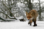 Fox in your Face