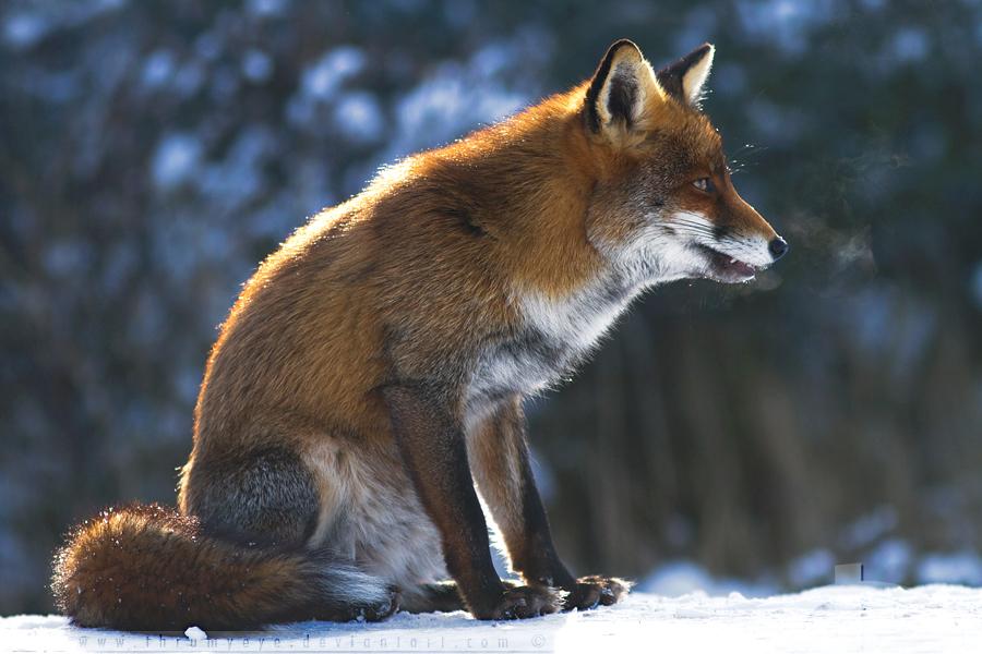 Smokin Fox by thrumyeye