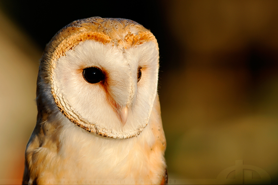 Owl in EveningLight by thrumyeye