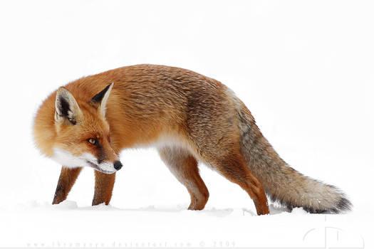 High Key Foxy by thrumyeye