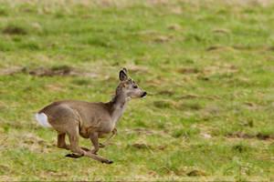 Roe Deer in Flight by thrumyeye