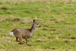 Roe Deer in Flight