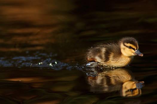 DuckRace by thrumyeye
