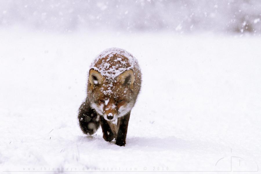 Frozen Fox by thrumyeye