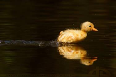 DuckRace - The Sequel by thrumyeye
