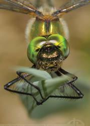 These Emerald Eyes... by thrumyeye