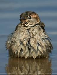 Soaked Sparrow by thrumyeye