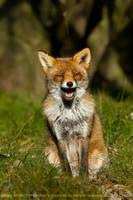 Happy Fox by thrumyeye