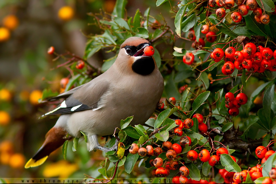 Waxwing revisited by thrumyeye