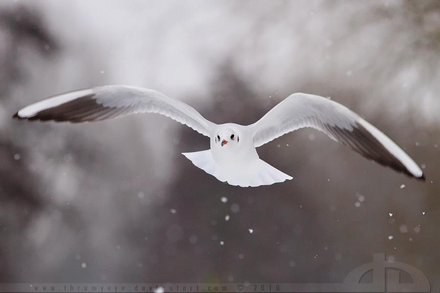 SnowGull by thrumyeye