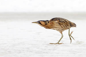 The Bittern and the Cold