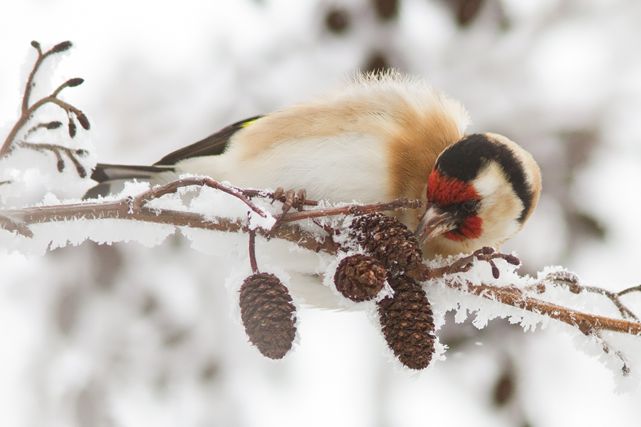 Coldfinch by thrumyeye