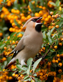 Waxwing Wealth