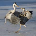 Bird Battle by thrumyeye