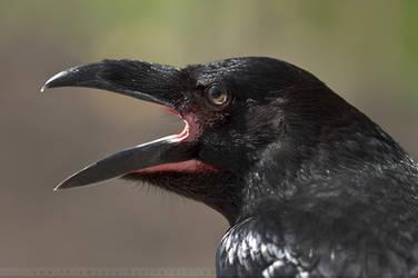 The Raven by thrumyeye