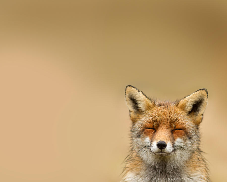 Fox for your Wall