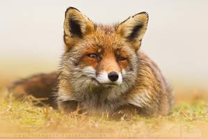 Misty Fox by thrumyeye