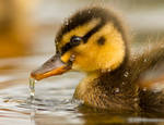 Duck Tears
