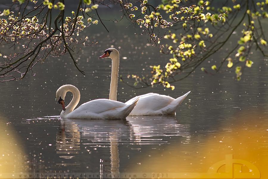 Swan Romance by thrumyeye